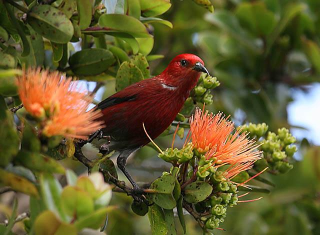 #10 – Oahu's Endemic Species Birding Adventure