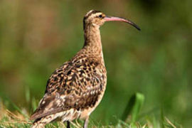 Bristle- thighed Curlew