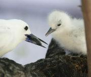 Coastal White Tern