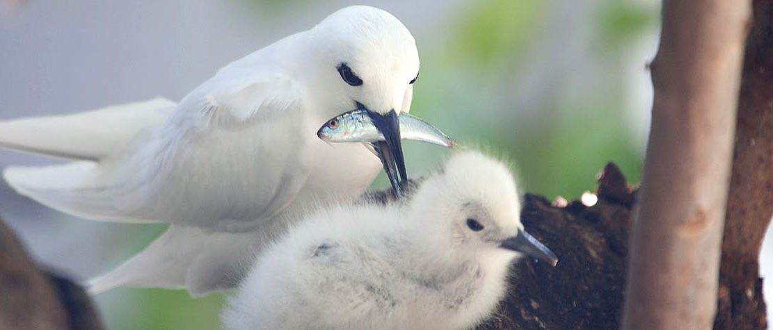 White Tern feeding chick